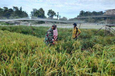 Babinsa Koramil 01/Simtim Tinjau Perkembangan Tanaman Padi Milik Petani di Desa Binaan